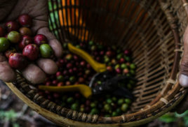 Top coffee producers sign joint pact to protect Indonesian rainforest