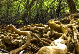 Mangrove forests: the muddy mazes that stash carbon and hide secrets